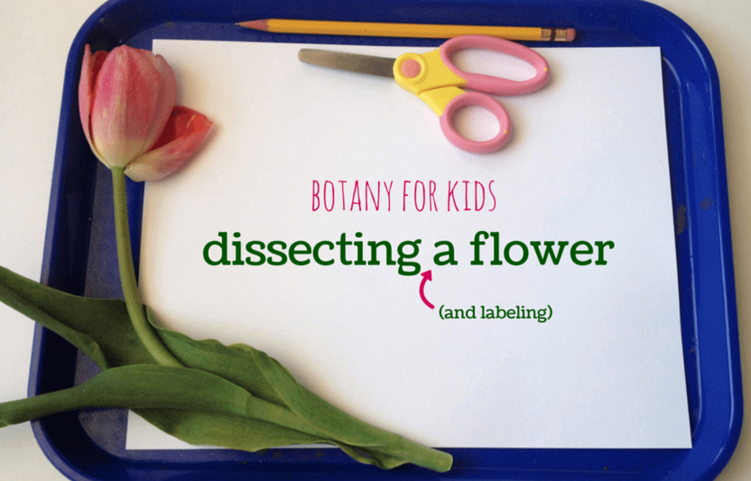 """Learn the ins and outs of the parts of a plant with this """"dissection"""" activity."""